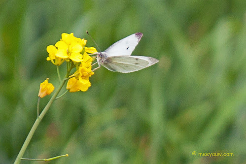 Cabbage White Butterfly  03.jpg