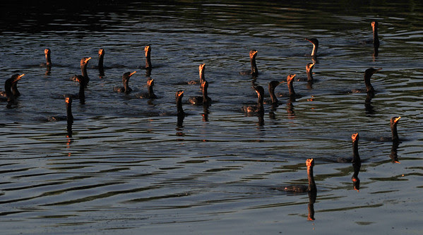 Sunset Bills (cormorants)