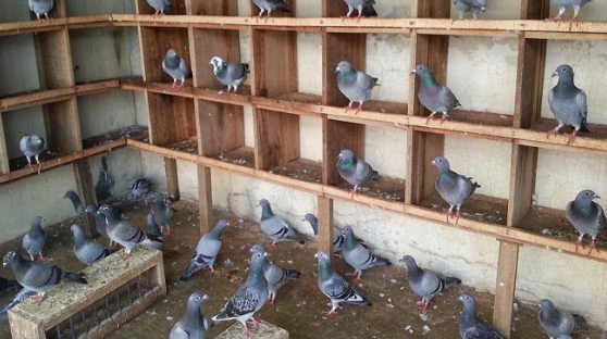 Unduh 1040+  Gambar Burung Merpati Dan Keterangannya   Free