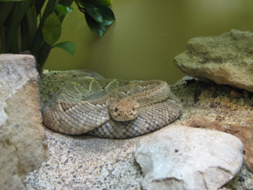 photo of rattle snake