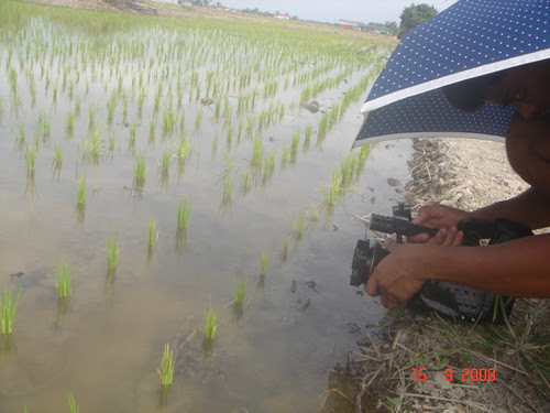 Getting close-ups of the rice plants