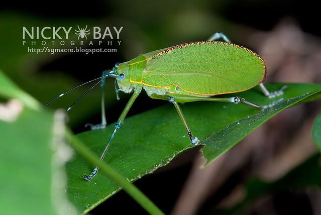 Katydid (Tettigoniidae) - DSC_9365
