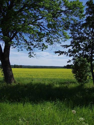 Rape fields in June