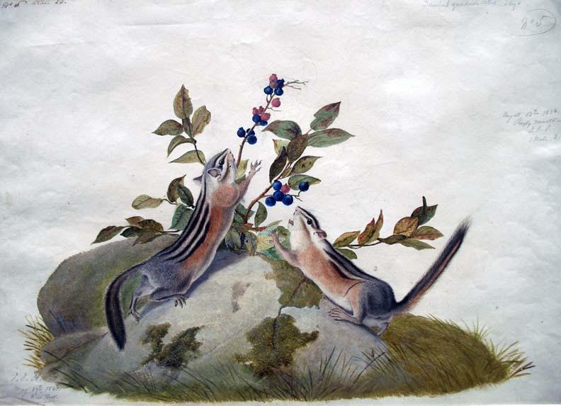 http://blogs.princeton.edu/graphicarts/images/audubon%20squirrel4.jpg