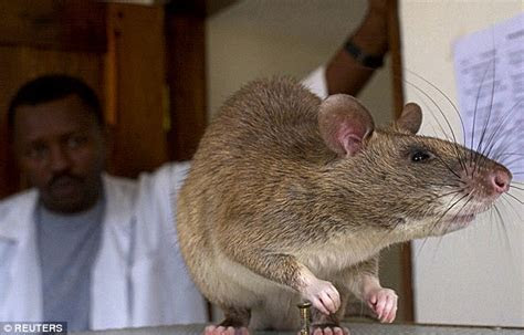 '4ft monster rat' found by gas man on London housing estate is from GAMBIA   Daily Mail Online
