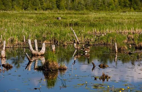 Orillia - Marsh Reflections 4