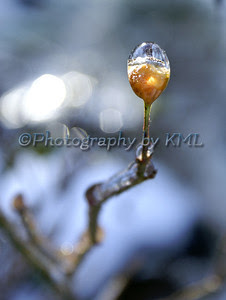 ice formed around a rose hip