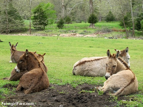 Donkey day off (2) - FarmgirlFare.com