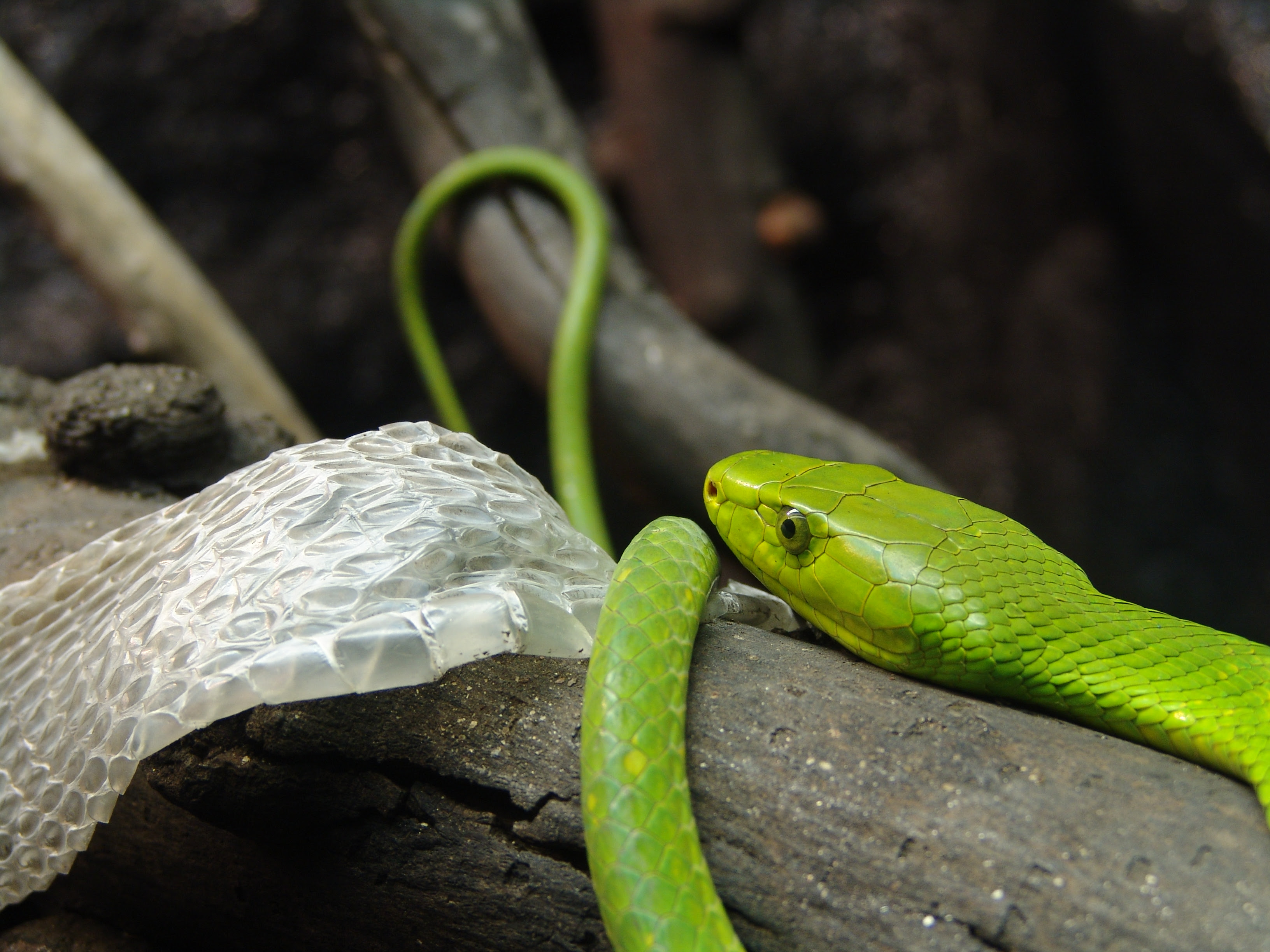 http://upload.wikimedia.org/wikipedia/commons/6/62/Eastern_Green_Mamba.jpg