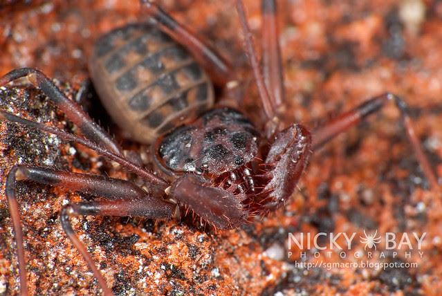 Tailless Whip Scorpion (Amblypygi) - DSC_0359