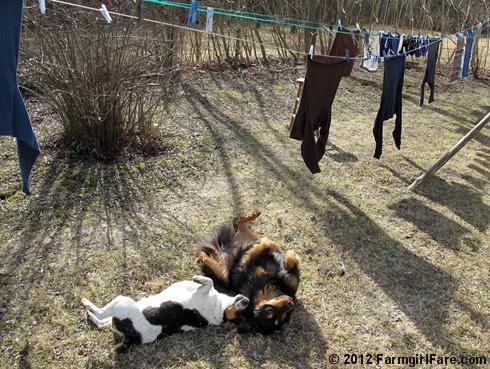 Bert and Bear under the laundry line - FarmgirlFare.com