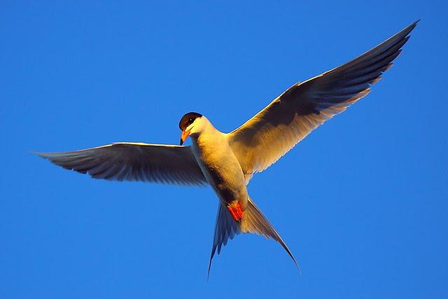 IMG_5727 Forster's Tern