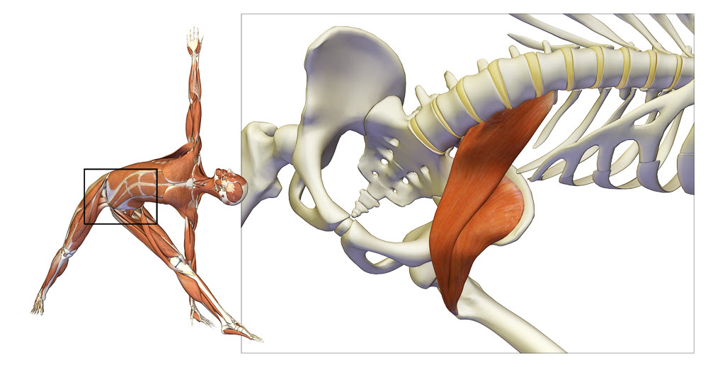 psoas muscle in trikonasana