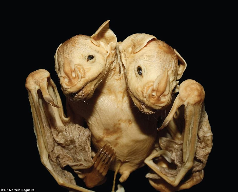 The newborn bat twins' corpse is conjoined at the torso, with its two heads side by side.The twins have separated heads and necks but a conjoined trunk with an abnormally expanded thorax, with ultrasound analysis revealing that they have two similarly sized, separate hearts