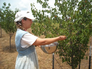 Sue Picking Apricots
