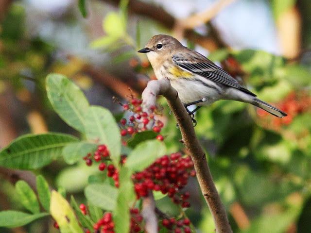 Yellow-rumped Warbler 3-20131228