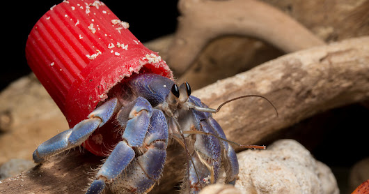 Photos of Hermit Crabs with Beach Trash Homes