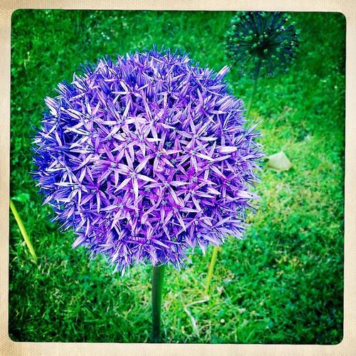 Amazing Allium standing 2' high!