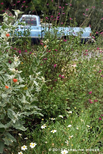 Globe mallow, 'Velvet Violet' salvia, blackfoot daisy