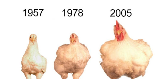Chickens Really Don't Look Like They Used To