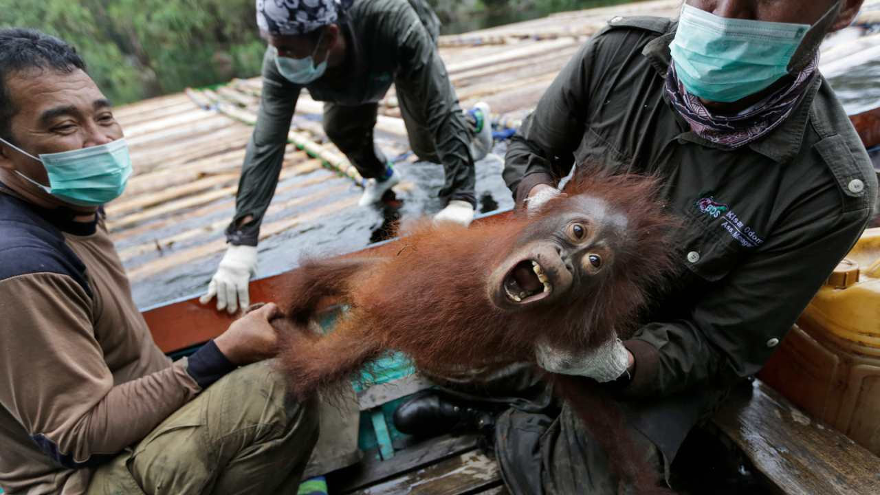 Conservationists of Borneo Orangutan Survival Foundation hold a baby orangutan rescued along with its mother during a 2016 operation for orangutans trapped in a swath of jungle destroyed by forest fires in Sungai Mangkutub, Indonesia. AP