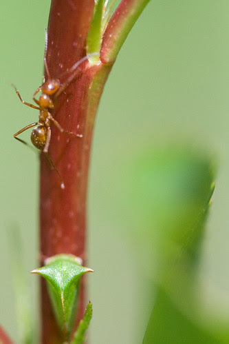 Membracid and Ant by pdecell