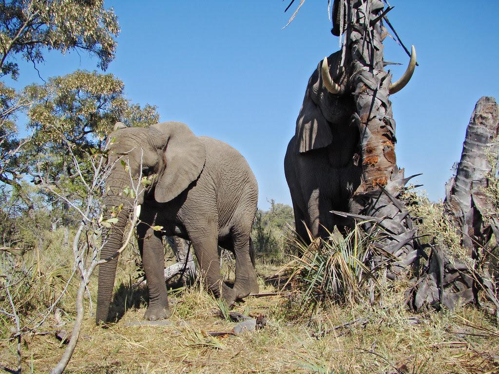 DSC08117 Elephant shaking real fan palm tree