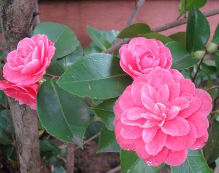 pink camellia mar12