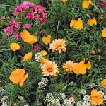 (1, B) 0.5kg) - Outsidepride Southwest Wildflower Seed Mix - 0.5kg