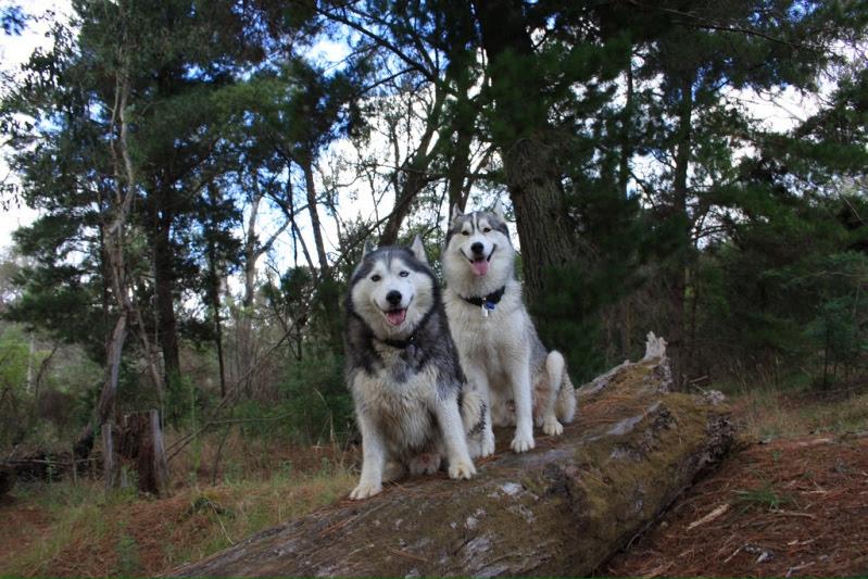 Собаки породы сибирский хаски. Фото