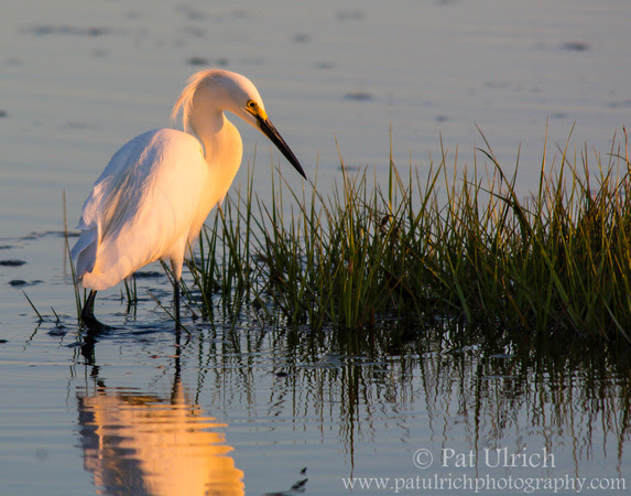 Snowy egret standing in shallow water with salt grass in Parker River NWR