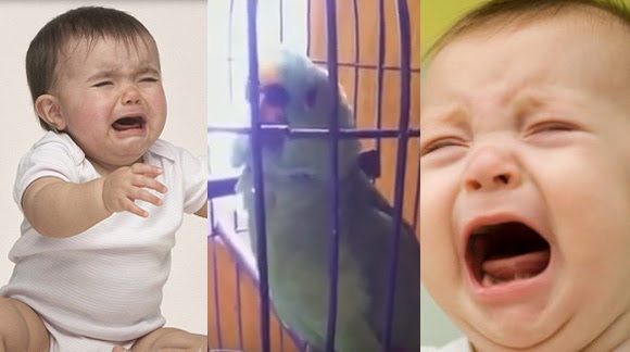 parrot-imitates-crying-baby