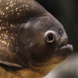 A força da mordida da piranha negra chega a 320 Newtons, quase três vezes mais que a de um crocodilo do mesmo tamanho