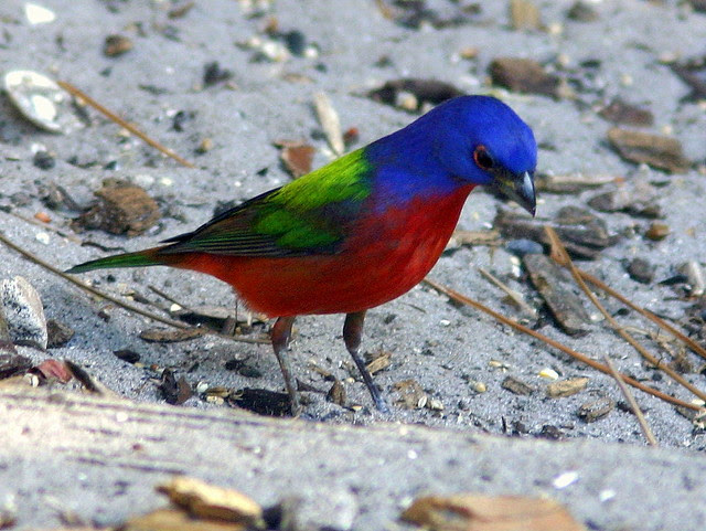 Painted Bunting Male 20090225