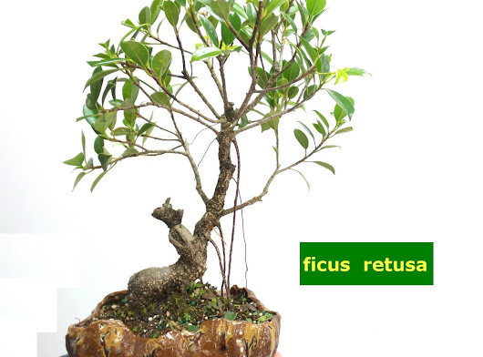 Come prendersi cura dei Bonsai da interno | CLORO-FILLA