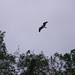 Osprey circling over me!