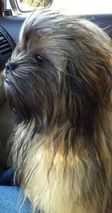 Here's looking at Chew: This pooch is a dead ringer for Star Wars favourite, wookiee Chewbacca