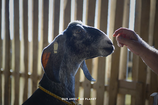 THE GOATARY: Dumaguete's World Class Sustainable Goat Dairy Farm! (OUR AWESOME PLANET)