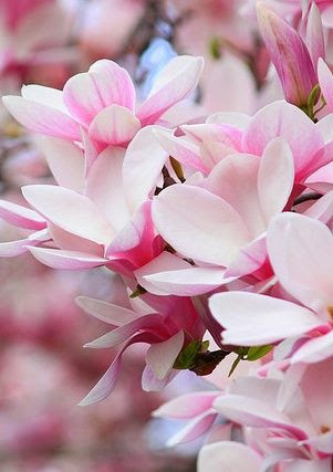 Can't wait to plant the Magnolia trees around the house! for 2 weeks each spring you feel like your in the land of euphoria! they are beautiful and smell AMAZING!