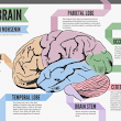 A Look at the Brain | Visual.ly