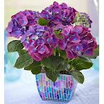 Flower Delivery by 1-800 Flowers Majestic Mosaic Hydrangea Large Plant