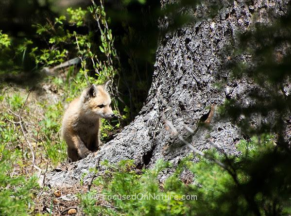 Exploring Fox Kit