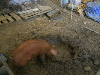 Pebbles the Duroc Gilt with Mud Pit in the Dog Kennel in the Barn