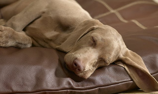 Dogs dream about their owners' faces or smells