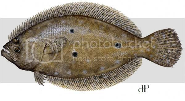 Flounder Pictures, Images and Photos