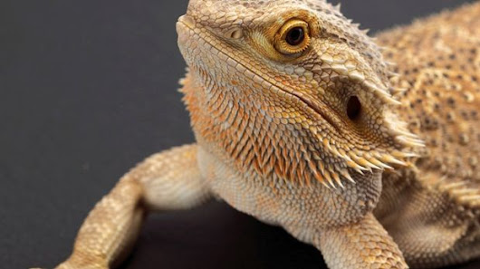 How cracking the sex-change code in bearded dragons could help them survive