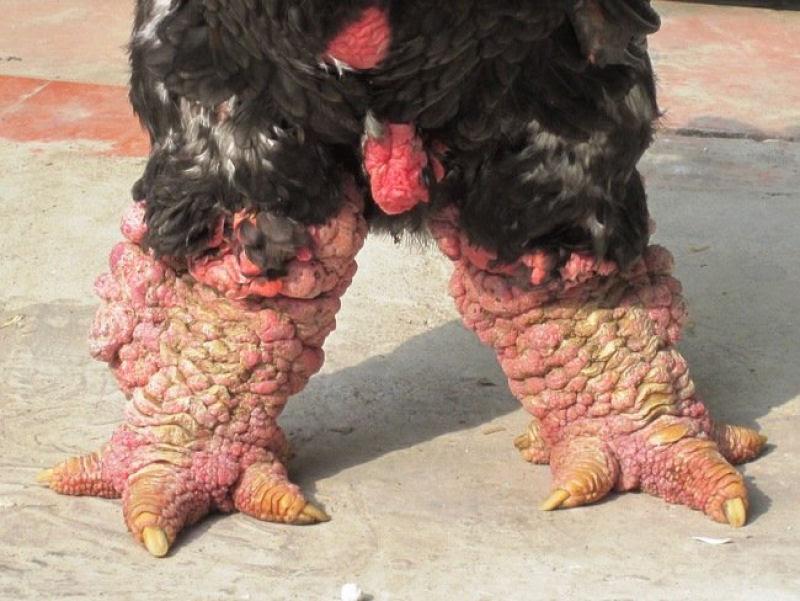 Raça de galinha vietnamita rara tem as pernas mais estranhas que você já viu 04