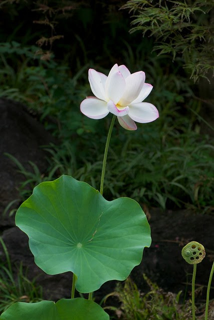 Lotus at Hase Dera