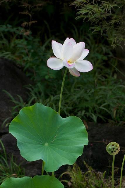 Lotus at Hase Dera