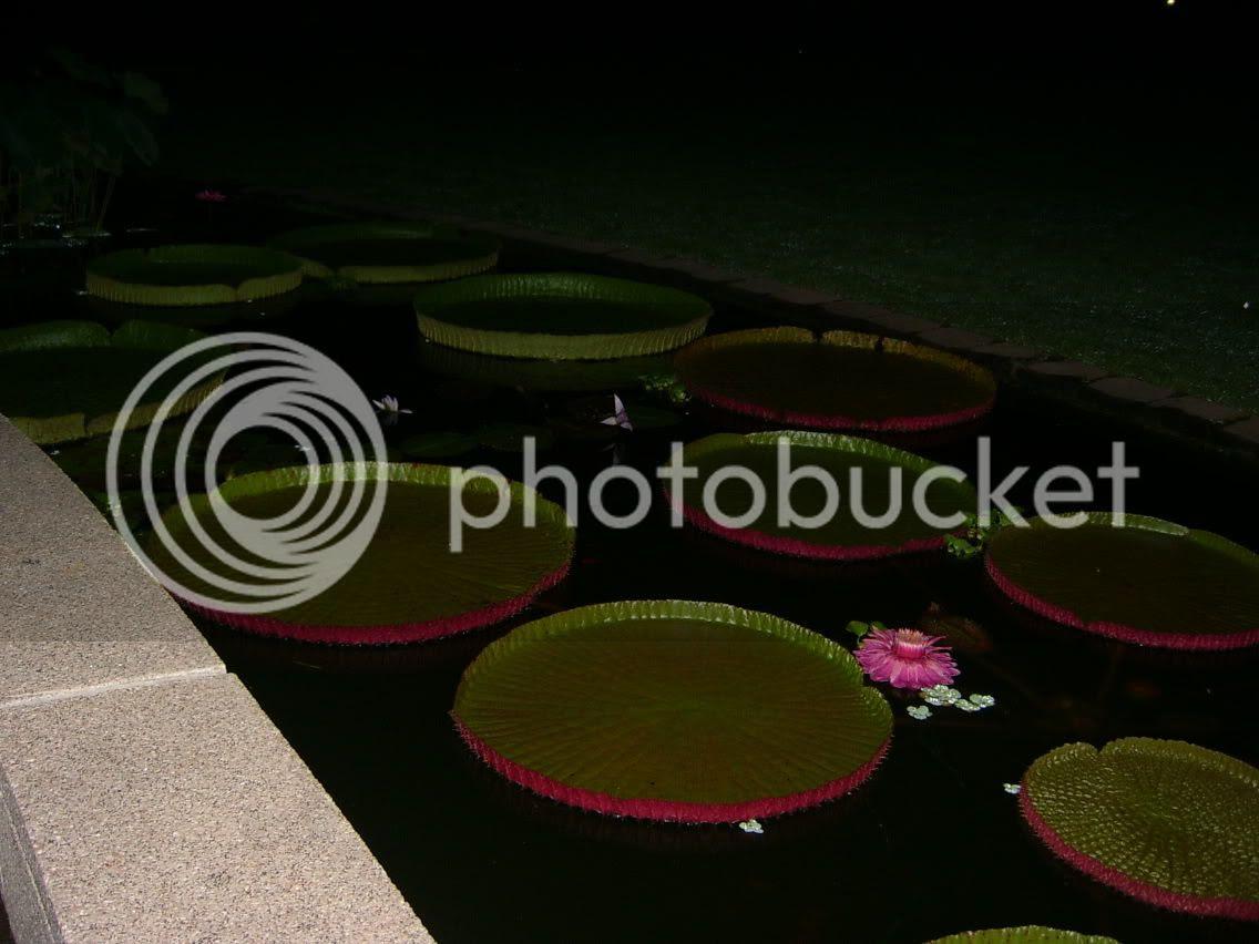 Amazon lily pads